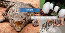 Cá sấu đẻ trứng hay đẻ con? - Giải đáp thắc mắc của hàng triệu người